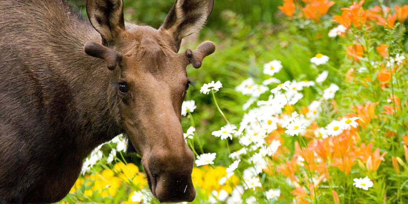 Moose browsing daisies