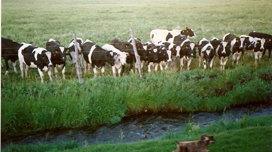 1989 Arvil Pace's cows in east side pasture - from Kirsten Kobler