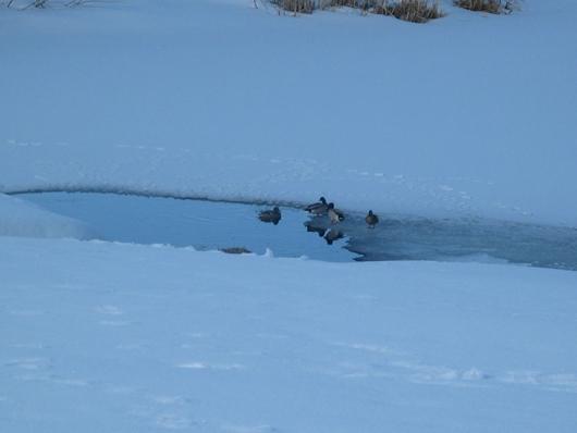 Winter ducks - March 2008